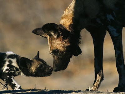 Adult African Wild Dog Greets Pup