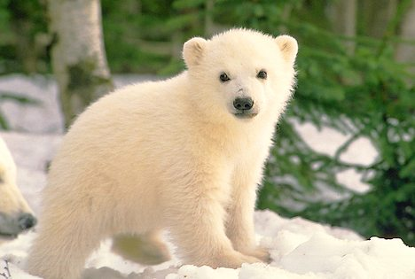 Innocent Cute Polar Beer cub