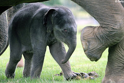 Pictures of Asian Elephants