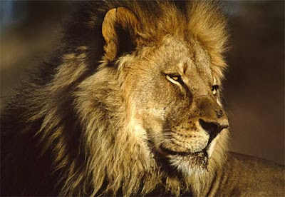 Pictures-of-African-Lion