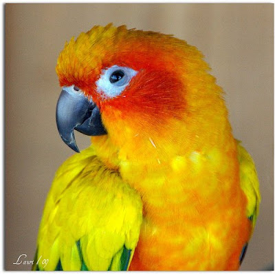 Colourful bird Sun Conure Picture
