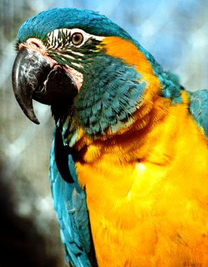 Blue throated macaw Bird Photo