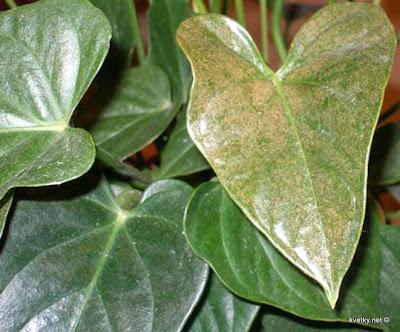 кактусовый плоский клещ повреждение листьев антуриума