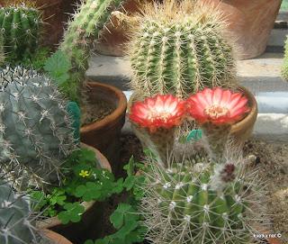 кактусы цветет пародия
