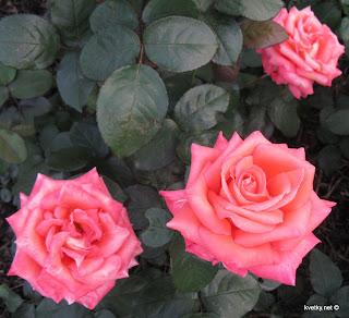 Укрытие розы на зиму