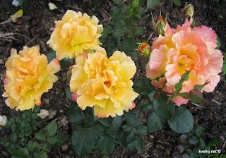 Омоложение роз