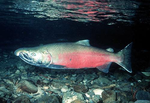 http://2.bp.blogspot.com/_Nbmev4cWoHw/TP9cke0qKnI/AAAAAAAAADs/j_YGquEjhos/s1600/ikan_salmon.jpg