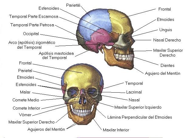 Mi atlas de anatomia: Huesos del cráneo