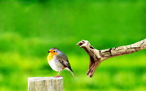Snake Attacking Bird Wallpaper | Swift Attack