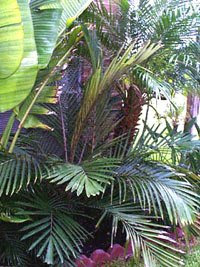 formosa palm Dwarf Sugar Palm Tree