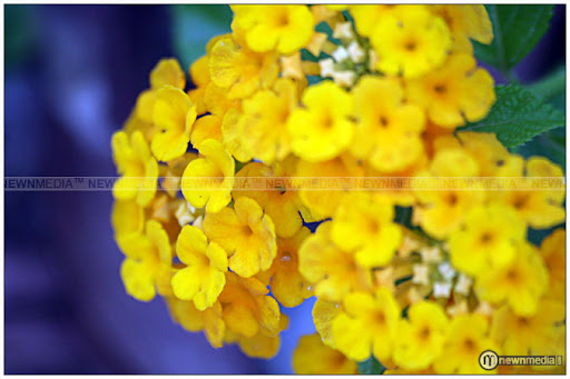 Kerala Marigold - A flower widely seen in Keralam.
