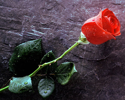 love red rose wallpaper image pics photos Free Rose Wallpaper
