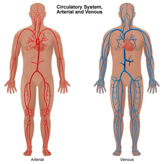 [Circulatory+system+arterial+and+venous+.jpg]