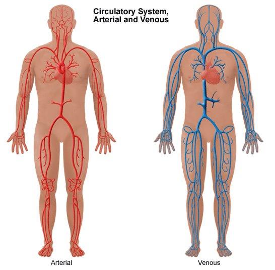 [Circulatory+system+arterial+and+venous+.jpg]