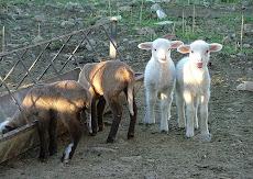 Los Corderos de Perolo