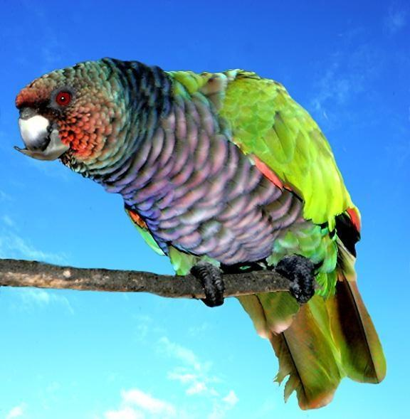 Sisserou Parrot, Dominica