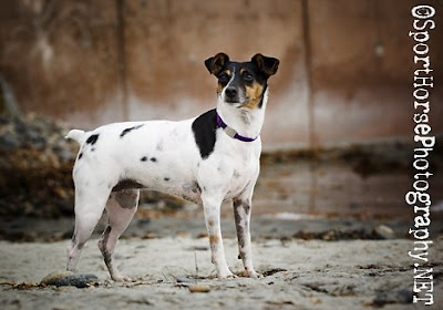 Rat Terrier Sport Horse Photography