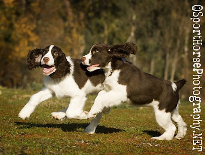 beagle english springer spaniel mix