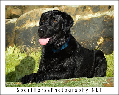 black lab golden retriever mix puppies. Black Labrador Retrievers