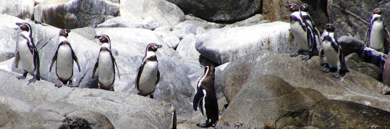 Pinguinos en Isla Pan de Azucar