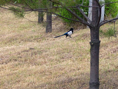 Korean Bird Magpie