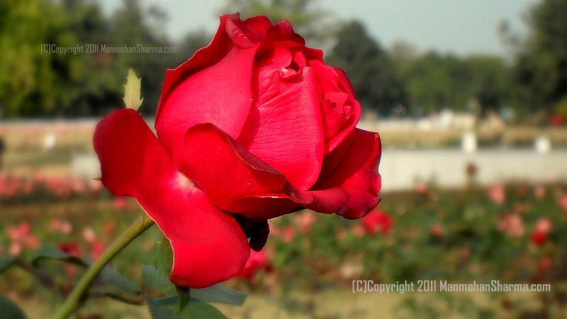 Manmohan Sharma Photography Rose Garden Sector 16 Chandigarh
