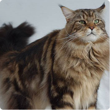 ¿Cuál es el costo de un gato Maine Coon? | eHow en Español