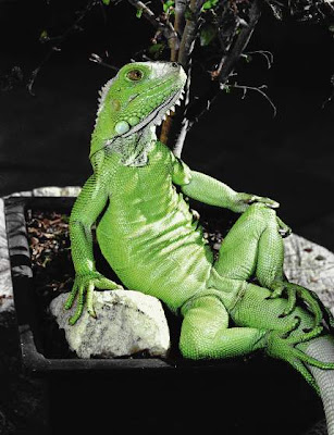 iguana in a sitting position