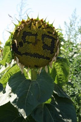 Artistic Sunflowers (8) 1