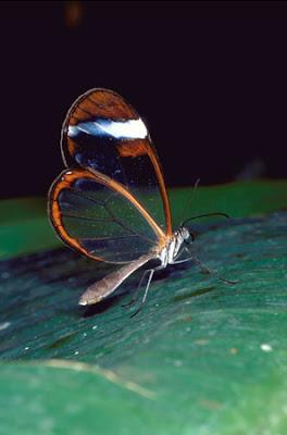 Glasswing+butterfly+18.jpg