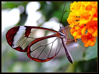 Glasswing+butterfly+9.jpg