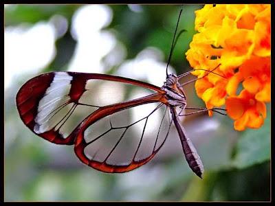Glasswing+butterfly+9.jpg