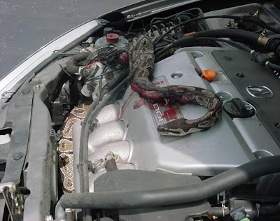 Snake in engine compartment (4) 1