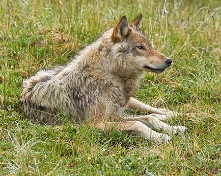 Wolf Sitting Down Side View