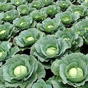voltaires garden Cabbage for Sauerkraut