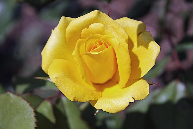 The Yellow Rose of Vicksburg