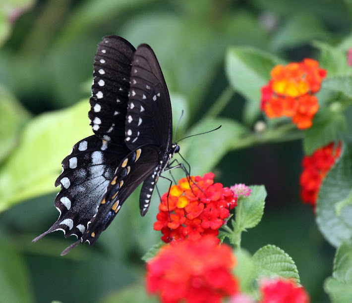 Black Swallowtail on Lantana