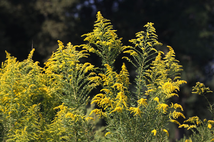 The Glory of Goldenrod