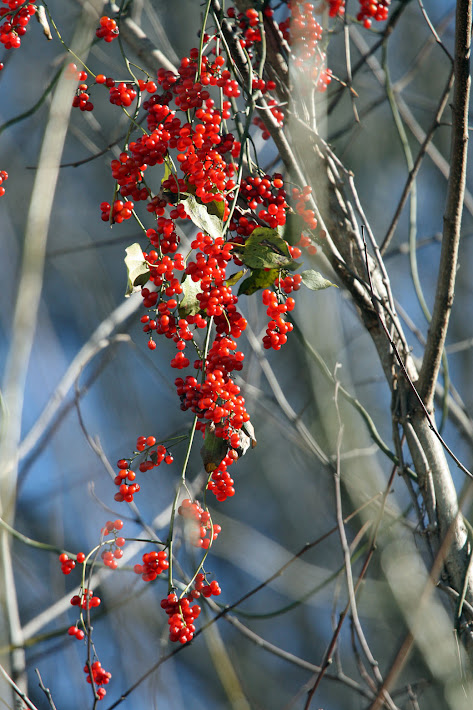 Carolina Moonseed Berries