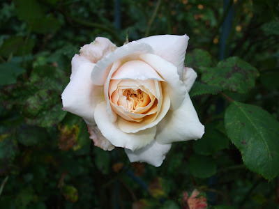 pinkish white rose flower wallpaper