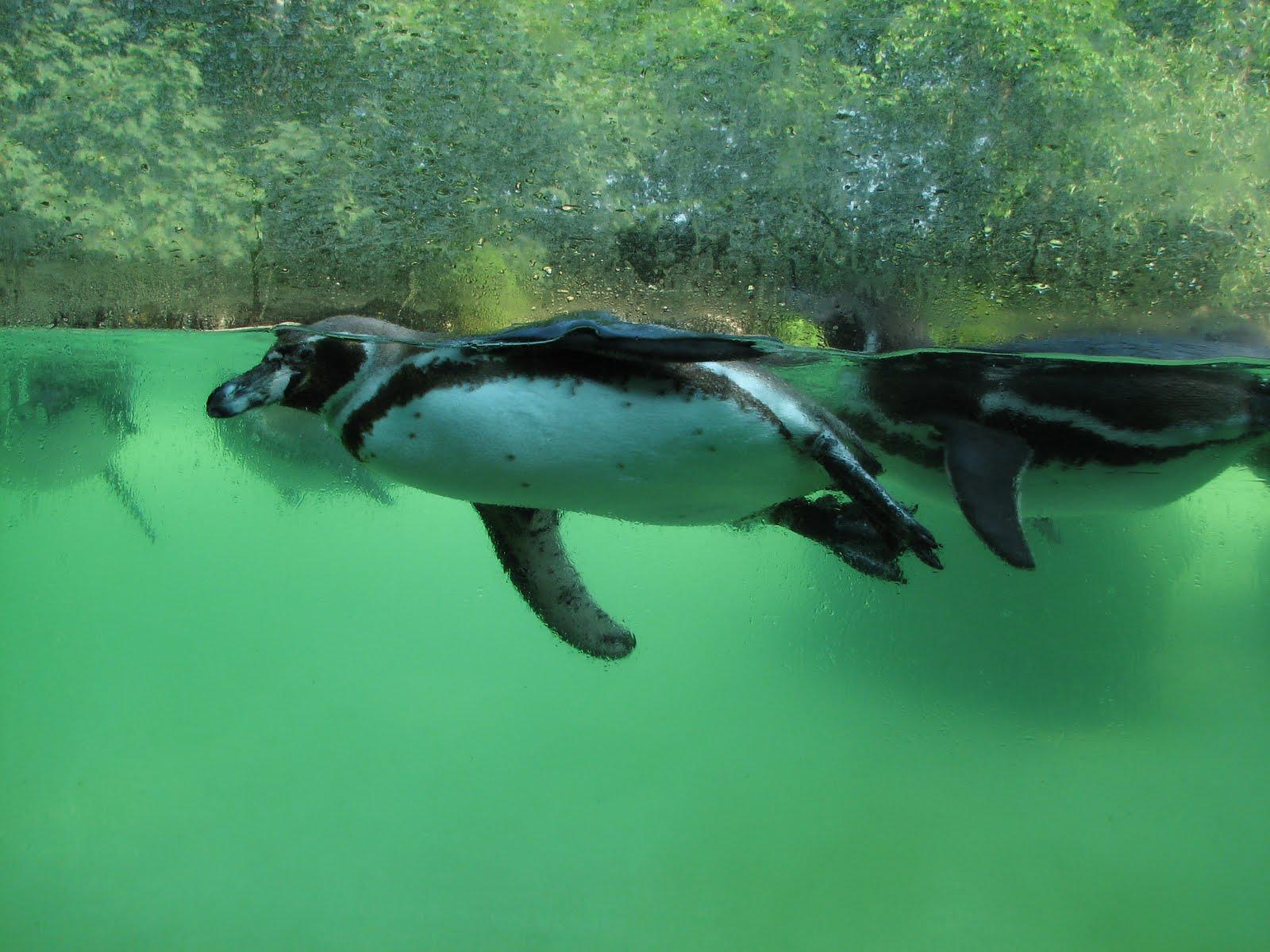 eberswalder zoo pinguin