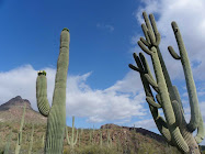 Saguaros stand tall in the Sonoran Desert