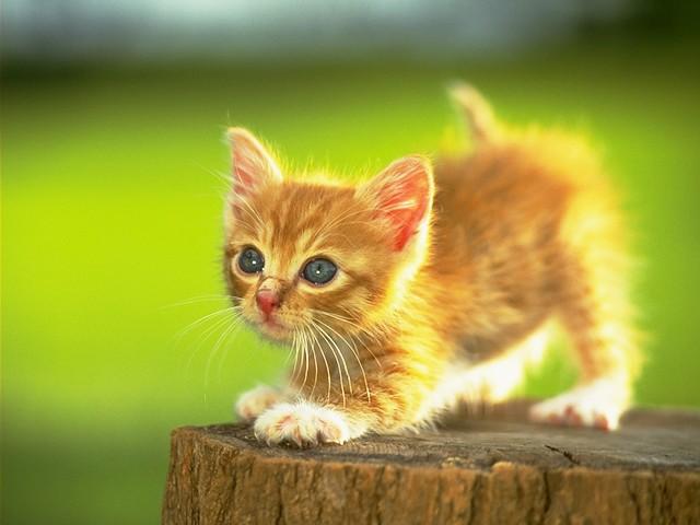 Adet yavru kedi resmi