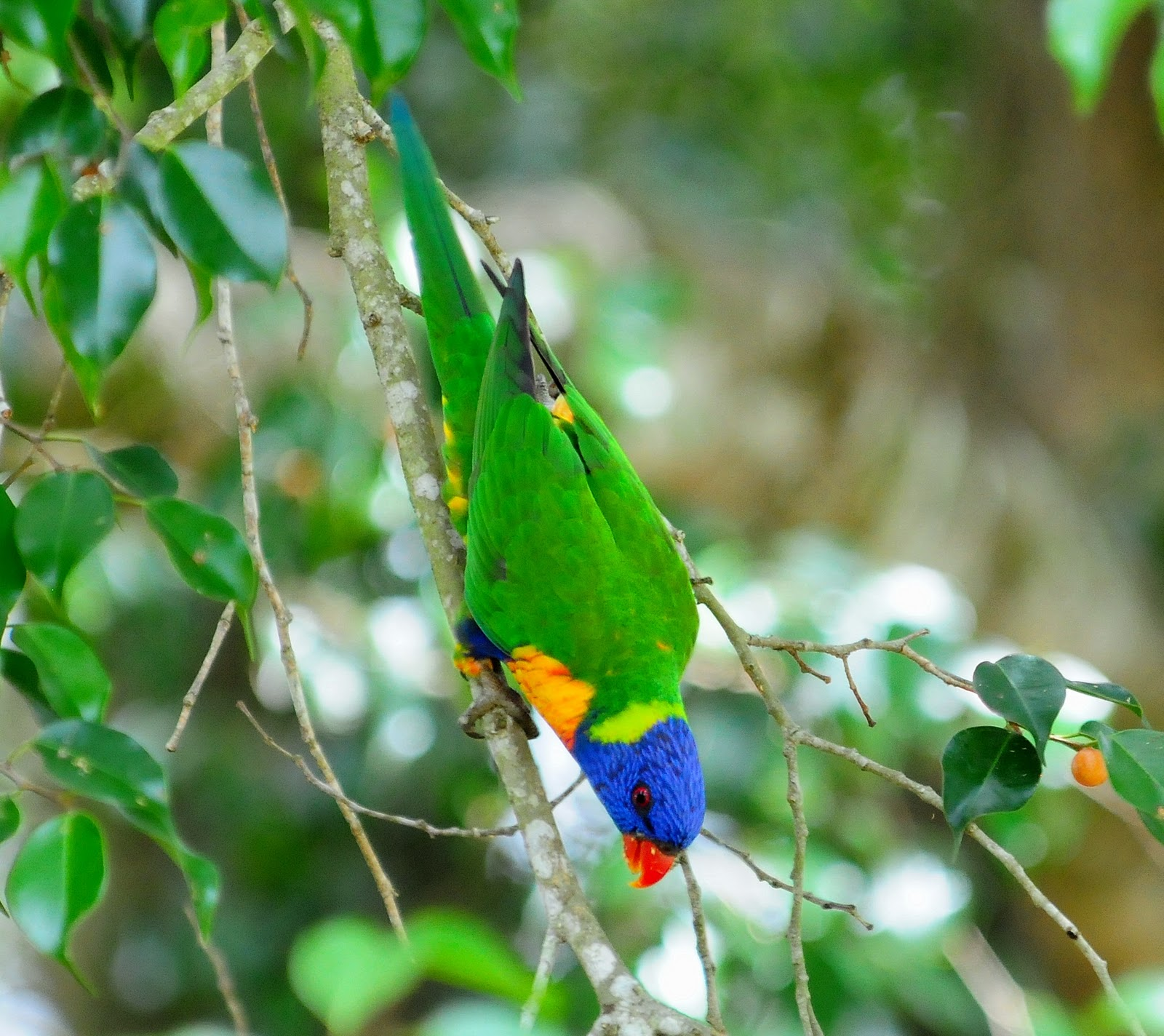 One of the more vocal birds rainbow lorikeets are well known for the