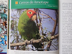 Loro de cabeza roja. Red-headed parrot.(Aratinga erythrogenys)