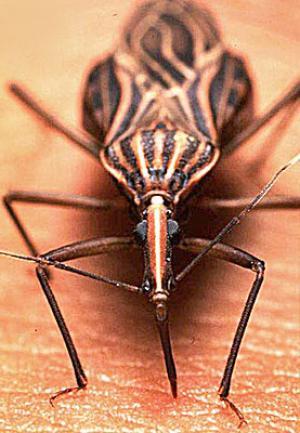 Image Result For Kissing Bug