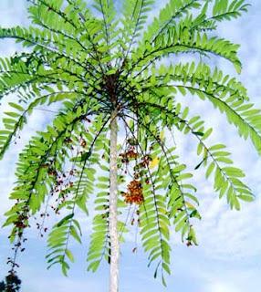 is tongkat ali tother names eurycoma longifolia longjack tongkat ali ...