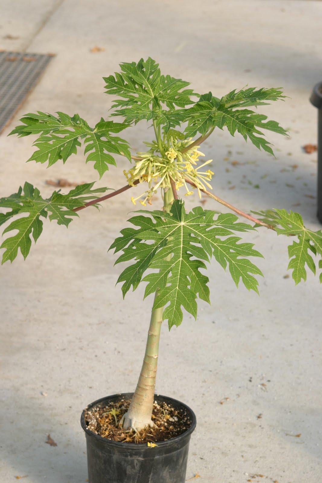 Папайя выращивание в домашних условиях из семян, посадка и уход 94