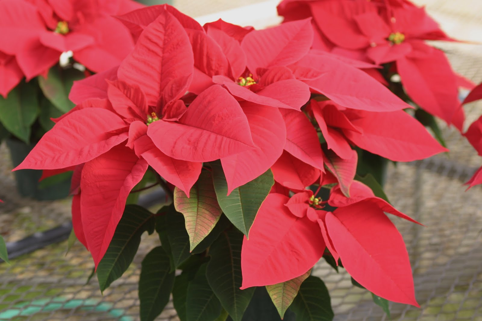 or red poinsettia - photo #19