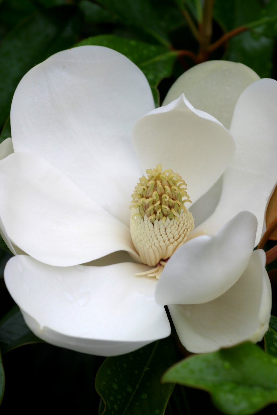 Powell gardens blog midsummers bloom from lotus to trees shrubs a closeup of a southern magnolia flower reveals its relation to the lotus it has a marvelous lemony perfume we have picked one for the front desk for all izmirmasajfo